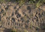 Lion tracks, Okavango Delta