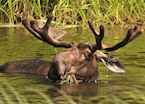 Moose near Fairbanks, Alaska