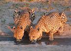 Cheetah Pair, Nxai Pan National Park