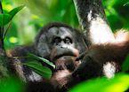 Orangutan, Danum Valley, Malaysian Borneo