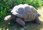 Giant Tortoise, Bird Island Lodge, Bird Island