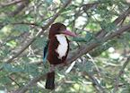 White-throated kingfisher at Gir