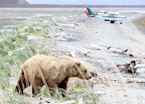 Grizzly bear on the beaches of Katmai National Park, near Homer, Alaska
