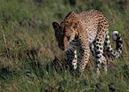 Leopard stalking through Kafue National Park