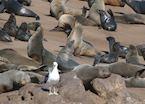 Seals, Swakopmund, Namibia