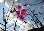 Cherry Blossom, Royal Agricultural Station, Angkhang