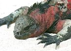 Marine iguana, Galapagos Islands