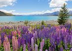 Lupins on the shores of Lake Tekapo