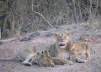 Mother and her three month old lion cubs seen on a jeep safari at Gir