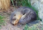 Sleeping seal, Otago Peninsula, Dunedin