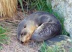 Sleeping seal, Otago Peninsula, Dunedin
