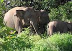 Pygmy elephant, Kinabatangan River, Malaysian Borneo