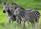 Zebra trio, Mana Pools, Zimbabwe