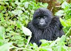 Blackback Gorilla, Volcanoes National Park, Rwanda