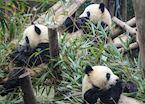 Pandas eating Breakfast