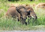 Elephant on the Nile, Murchison Falls, Uganda