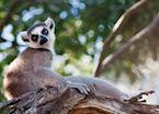 Ring tailed lemur, Ifotaka Community Forest, Madagascar