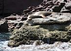 Sleeping Sea-lion, Baja California