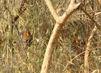 The elusive tiger, Tadoba