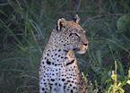 Female Leopard in the Okavango Delta