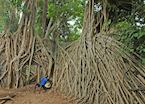 Strangler figs covering Swahili ruins on Chole Island