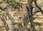 Leopard in a tree, Masai Mara