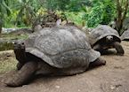 Giant Tortoises, La Digue