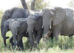 Elephant family, Kwando Concession, Okavango Delta