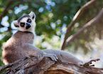 Ring-tailed lemur, Manafiafy, Madagascar