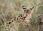 Serval cat in the Masai Mara