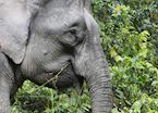 Female Pygmy Elephant, Kinabatangan River