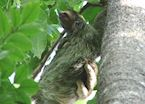 Three-toed sloth, Panama