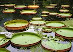 Giant Lillypads, Brazilian Amazon