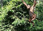 Orang-utan at Sepilok, Sandakan, Malaysian Borneo