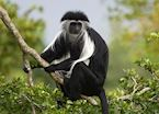 Black and white colobus, Kyambura Gorge, Queen Elizabeth National Park