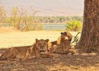 Lions in Mana Pools