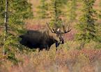 A moose in the forests near Marquette