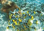 Snorkelling with butterfly fish, Bora Bora