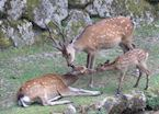 Miyajima Deer Family