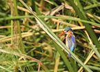 Malachite kingfisher, Kwara Concession, Okavango Delta