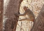 A Macaque in Pench National Park