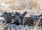 A group of Bat-Eared Foxes (or Bat Dogs!) relaxing in the shade