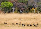 Wild dogs, Kafue National Park