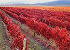Autumnal vineyards, Mendoza, Argentina