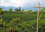 Coffee & Banana Plantations in Colombia's Coffee Triangle