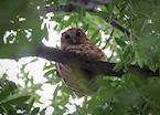 The illusive Pel's fishing owl in the Okavango Delta