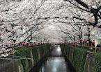 Cherry Blossom of Japan, General info - JP