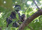 Black monkeys, Bali Barat