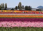 Fields of tulips, Mount Vernon, near Washington D.C.