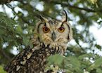 Eurasion Eagle Owl, Satpura National Park